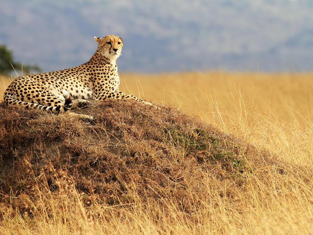 A Cheetah at the Masai Mara National Reserve, Kenya