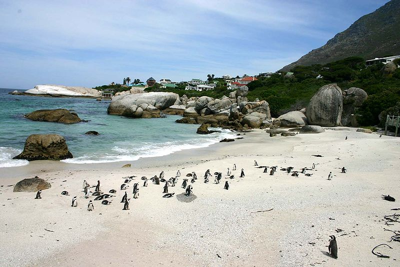 Boulder Beach - African Penguin Colony