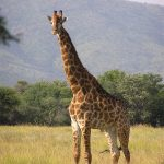 A bull giraffe at the Central Kalahari Game Reserve, Botswana