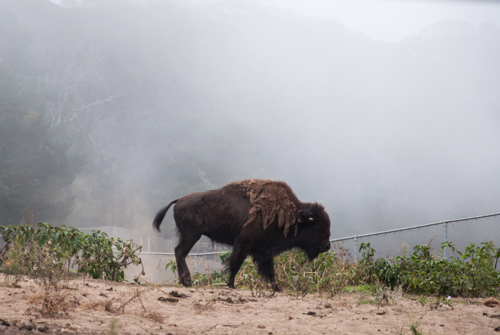 The Bison of Golden Gate Park