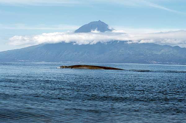 Blue Whale, Azores