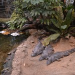 Crocodiles resting on Sand at Montreal Biodome