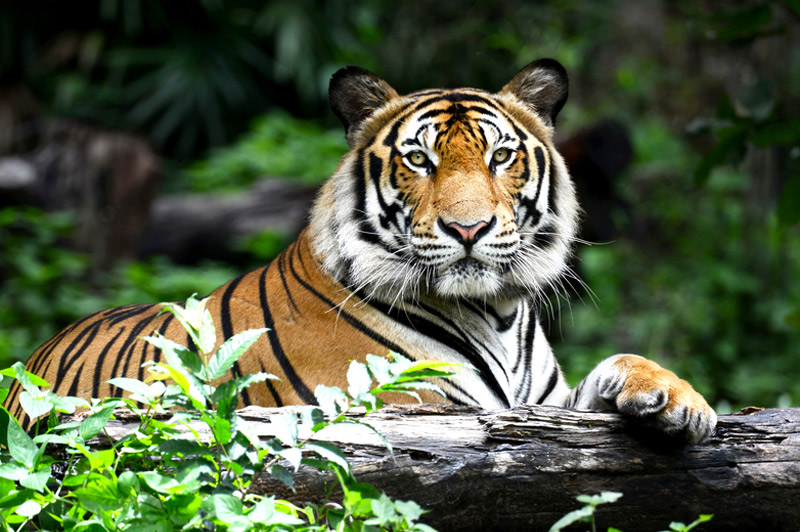 The chance of encountering tigers is now greater than ever