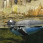 Penguins in water at Montreal Biodome