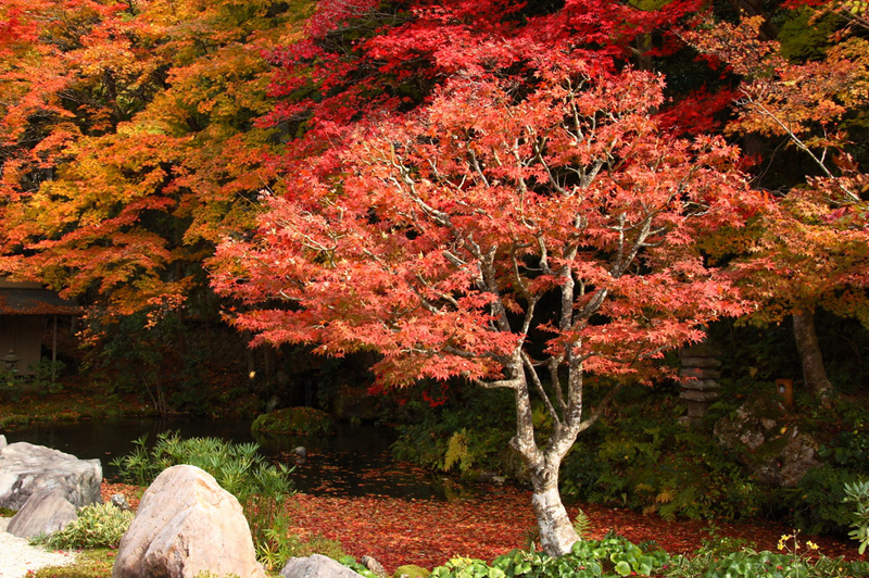 Red maple trees in Kyoto
