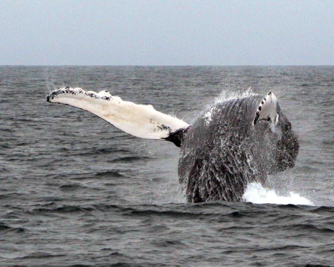 Whale at Cape Cod