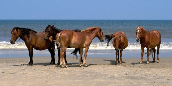 Race with the mustangs at the Carova Beach