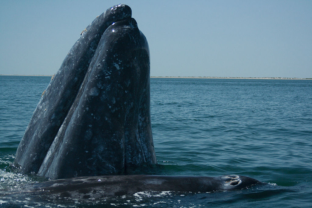 whale at Los Cabos