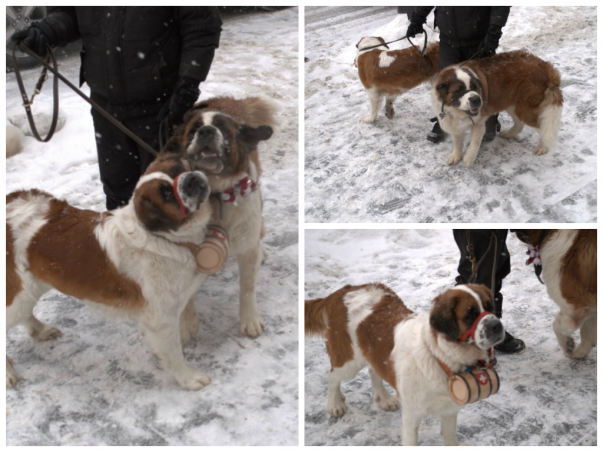 Mountain Search and Rescue Dogs
